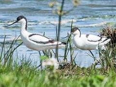 Avocets at RSPB Frampton Marsh, near Boston Lincolnshire
